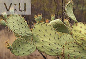 Engelmann's Prickly Pear Cactus with developing fruits (Opuntia engelmannii), Arizona, USA. Note that drought has shriveled the leaves.