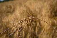 A wheat field is pictured near Portage La Prairie, Manitoba, Monday August 17, 2015.