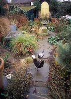 Heirloom White crested black Polish rooster & Silver Laced Wyandotte speckled hen in backyard garden free-range