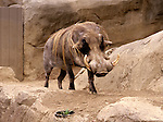Warthog at San Diego Zoo San Diego California State USA