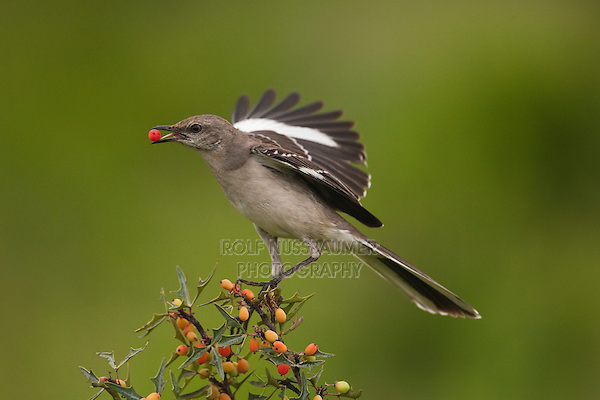 Northern Mockingbird (Mimus polyglottos) adult eating berries, Starr County, Rio Grande Valley, South Texas, USA