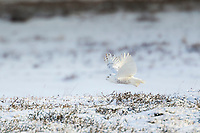 Snowy owl takes flight over the snow covered tundra of Alaska's arctic north slope.