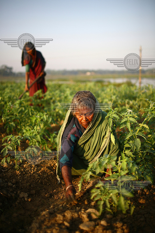 A woman harvests tomatoes in Sylhet. She receives seasonal microfinance loans used for the purchase of seeds, fertilizers and pesticides..