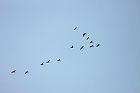 Flock of Greater White-fronted geese, arctic, National Petroleum Reserve, Alaska.