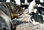Adelie penguins and a southern elephant seal, Antarctica