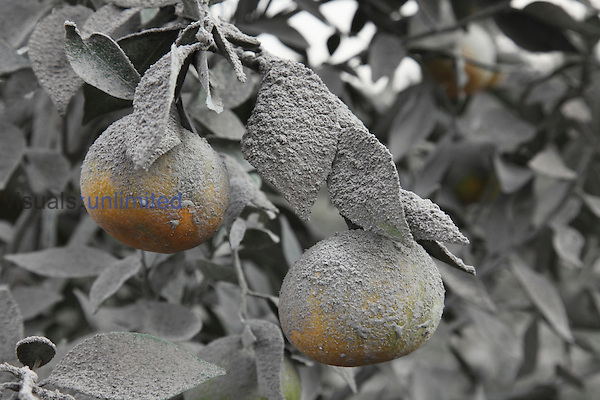 Oranges covered in volcanic ash, Sinabung Volcano, Sumatra, Indonesia