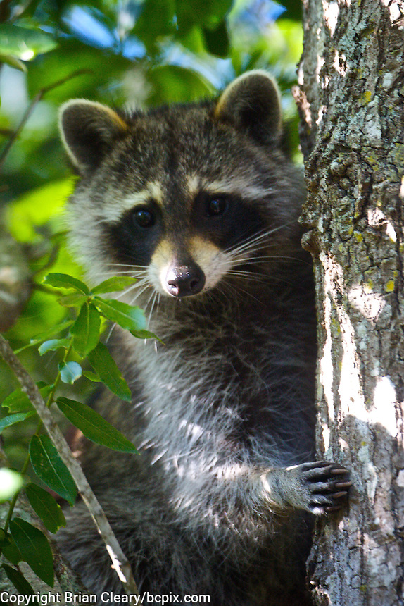 A racoon in a tree in Holly Hill, FL.  (Photo by Brian Cleary/www.bcpix.com)