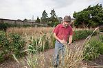 John Letts, Heritage grains<br /> <br /> Experimental plot.  Late ripening Emer wheat.