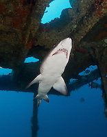 TP0351-Dv. Sand Tiger Shark (Carcharias taurus) swimming inside the wreckage of the sunken ship Aeolus, a 409-foot long tanker sunk on purpose in 1988 to create an artificial reef. Found singly and in aggregations from 1 to 200m deep, often in caves and near shipwrecks, a member of family Ondontaspididae, grows to 3.2 meters in length, distributed in western and eastern Atlantic Oceans, western Indian Ocean, and western Pacific Ocean. North Carolina, USA, Atlantic Ocean. Cropped to vertical from native horizontal format.<br /> Photo Copyright &copy; Brandon Cole. All rights reserved worldwide.  www.brandoncole.com