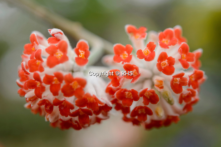 Edgeworthia Chrysantha 'Red Dragon' / The Botanic Nursery in the Floral Marquee at the RHS Show Cardiff 2016.