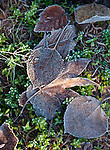 Frost covered Japanese Maple and Quake and Aspen leaves on ground cover.  ©2013. Jim Bryant Photo. All Rights Reserved.