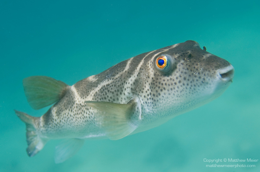 Bartolome Island, Galapagos, Ecuador; Bullseye Puffer (Sphoeroides annulatus) poses for pictures in the blue-green water , Copyright © Matthew Meier, matthewmeierphoto.com All Rights Reserved