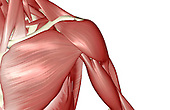 A superior anterior view of the muscles of the shoulder. Royalty Free