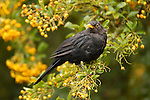 Blackbird (Turdus merula) eating berries, New Zealand