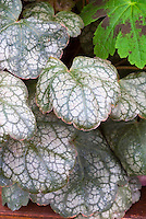 Heuchera 'Magic Color' aka 'Magic Colour'