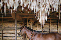 A Pasola horse is tied to a traditional Sumbanese house in the village of Wainyapu. Pasola is an ancient tradition from the Indonesian island of Sumba. Categorized as both extreme traditional sport and ritual, Pasola is an annual mock horse warfare performed in response to the harvesting season. In the battelfield, the Pasola warriors use blunt spears as their weapon. However, fatal accident still do occurs.