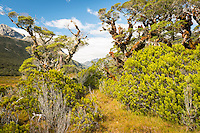 Sub-alpine vegetation with beech trees and bogs near Greenstone Saddle, Fiordland National Park, Southland, South Island, World Heritage Area, New Zealand