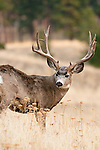 wide mule deer buck, trophy with kicker, looking at camera