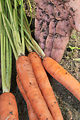 Stock photo Carrots from the garden