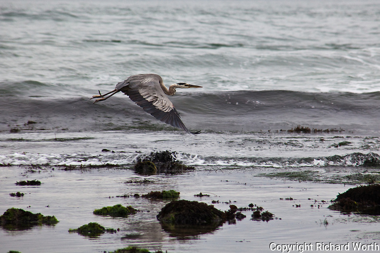 Great Blue Heron flies over Pacific waves at Pescadero State Beach, California.