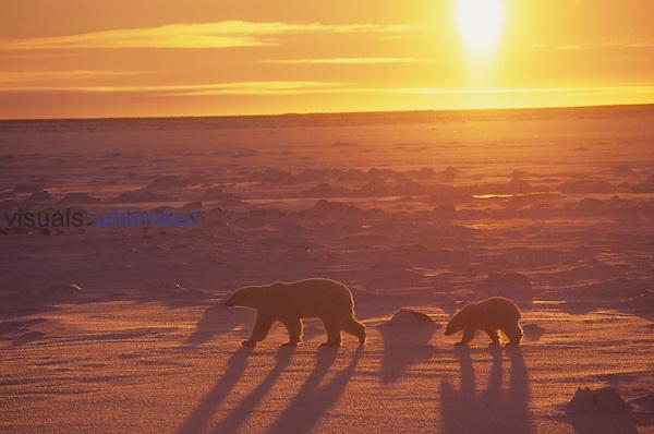 Polar Bear walking on ice with its first-year cub under the Midnight Sun (Ursus maritimus), North America.