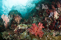 The strong currents in the Misool area create perfect conditions for filter feeders such as soft corals, sea fans and sponges and in most areas, the rocky substrate is literally carpeted in life.  The reefs of Raja Ampat are some of the most diverse and healthiest in the world.
