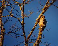 A Red-Shouldered Hawk scans the ground from a perch in a pecan tree outside Willits in Mendocino County in Northern California.