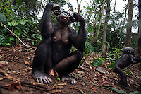Bonobo female sitting on the forest floor with her baby aged 10 months nearby (Pan paniscus), Lola Ya Bonobo Sanctuary, Democratic Republic of Congo.