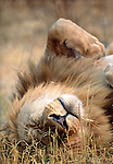 African Lion male, Okavango Delta, Ngamiland, Botswana