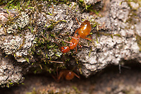 Carpenter Ants (Camponotus castaneus) explore a fallen dead oak tree.
