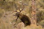 A bull elk is rubs his antlers on a pine tree to mark his territory in Yellowstone National Park, Wyoming, USA October 4, 2007.  His harem is nearby.  Photo by Gus Curtis.