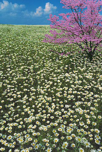 Meadow of wild oxeye daisies with pink dogwood (Cornus florida) in full bloom MIssouri USA