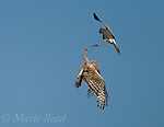 Northern Harriers (Circus cyaneus) pair during food exchange near nest, Montezuma National Wildlife Refuge, New York, USA.<br /> # 2 of 3-image sequence.