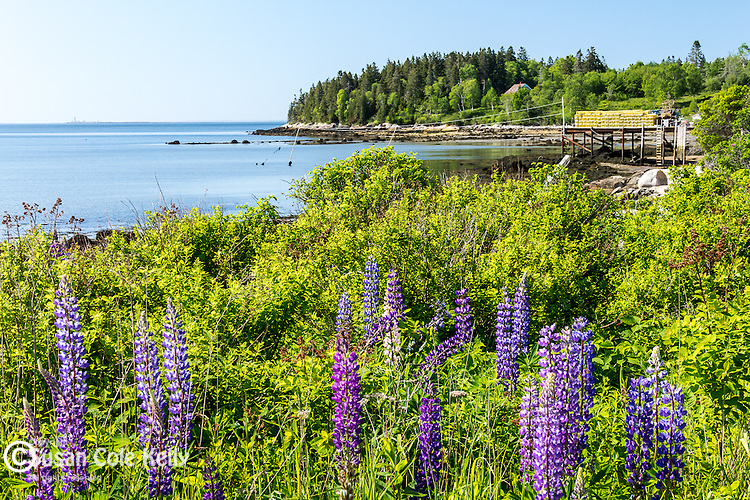 Lupines in Steuben, Maine, USA