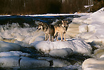 Grey wolves, Minnesota