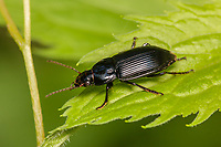 A Woodland Ground Beetle (Pterostichus sp.) perches on a leaf.