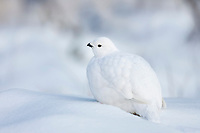 Willow ptarmigan rests in the fresh snow, Fairbanks, Alaska.