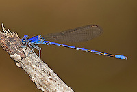 338660001 a wild male spine-tipped dancer damselfly argia extranea perches on a dead tree limb on empire creek las cienegas natural conservation area pima county arizona united states