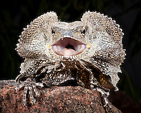 Frilled Dragon (Chlamydosaurus kingii), captive.