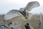 Snowy Owls at Ocean Shores, WA.