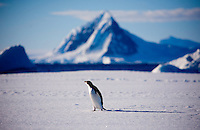Neny Fjord, Antarctica, Jan. 12, 2007 - An Adelie penguin stands on the fast ice over Neny Fjord. The cold climate penguin has been forced further south due to global warming. 6Antarctica is home to five of the world's 17 different species of penguins. Though climate reports suggest that the continent is not warming substantially as a result of global warming, the ocean around it is. In fact the temperature of the Southern Ocean has risen 11 degrees since the 1950's. This has caused a problem for the cold water species of penguin, such as the Emperor and Adelie. They have had to move further south to survive, while warmer climate species, such as Gentoo and Chinstrap have expanded their sizes. While this would seem good news for the Gentoo and Chinstrap, the warming of the waters has caused larger melting of icebergs than previously expected. The flow of fresh water with the salt water under the icebergs are the breeding ground for krill, the primary food for penguins. The increased number of the colonies along with the decrease in food has caused major problems for all of the species.