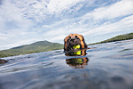 Big Dog Swimming in Blue Mountain Lake NY