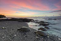 Green sea turtles (or honu) come ashore at sunset to rest for the night in Puako, Big Island.