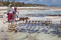 """Jambiani, Zanzibar, Tanzania.  Woman Planting Seaweed, to export to Asian markets.  Women can work their plots only at low tide.  Three weeks after planting the seaweed will be ready to harvest.  Women receive about twelve cents per kilo, """"thin and dried."""""""