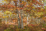 Fall color in Nickerson State Park, Brewster, Cape Cod, Massachusetts, USA