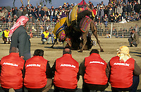 Selcuk, Turkey, 21/01/01..The traditional sport of camel wrestling is popular throughout western Turkey in the winter months; the largest event is the annual festival held in Selcuk on the third weekend of January. Stewards watch a match from the sidelines.