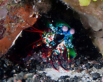 "A peacock mantis shrimp emerges slightly from its burrow to investigate the approaching photographer.  Mantis shrimp are curious and will sometimes come out of their burrows to investigate a passing fish or diver.  They are active predators that hunt primarily using their excellent vision in the daytime.  Mantis shrimp are not actually related either to shrimp or mantoids (which are insects), but are named for their appearance, which resembles both.  They are usually approachable and not particularly dangerous to divers, but care is still needed:  Mantis shrimp are also called ""thumb splitters"" for their ability to inflict a deep wound if they feel a need to defend themselves (easily penetrating a wetsuit or, rarely, a camera housing)."