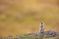 Arctic ground squirrel, a prey species for many larger animals, stands alert and upright on the tundra of Denali National Park, interior, Alaska.