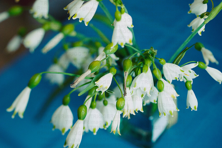 Some Wild Blue Bells pick and placed in a Jar of water on a blue table cloth