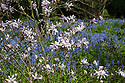 Magnolia stellata and bluebells, Hinton Ampner, Hampshire, late April.